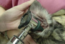 Photo of How To Help Your Dog With His Otitis